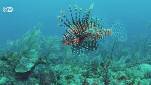 Belize: Die Feuerfisch-Invasion