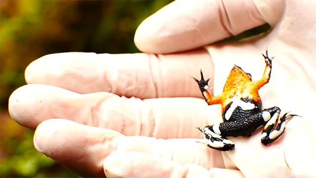 Chile: Sie retten den Nasenfrosch